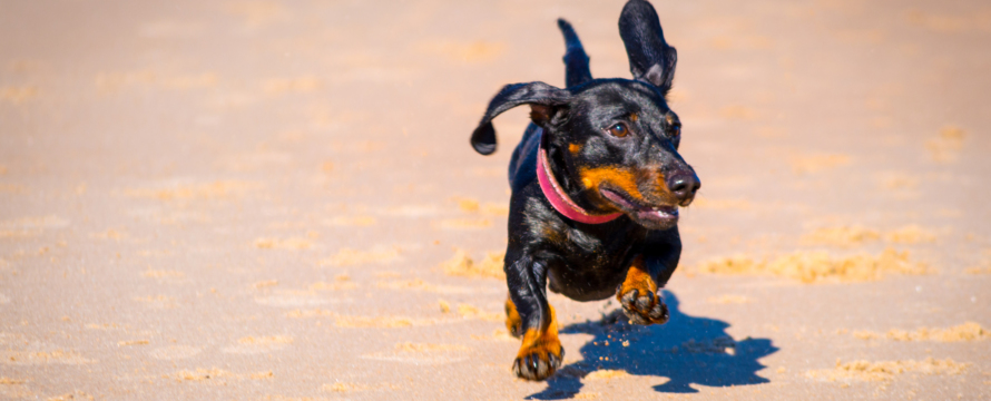 Dachshund puppy enjoying the beach